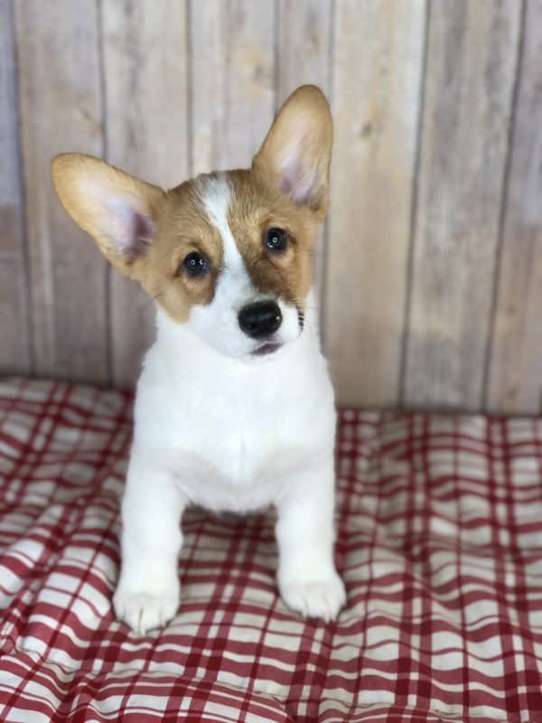 puppies for sale near cleveland ohio landing page
