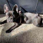 French bulldog puppy reviews